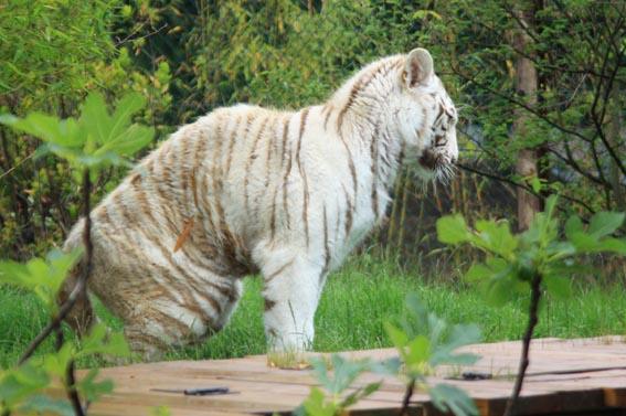 Weiße Tiger, Amneville Zoo, Frankreich