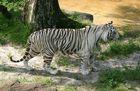Weisse Tiger