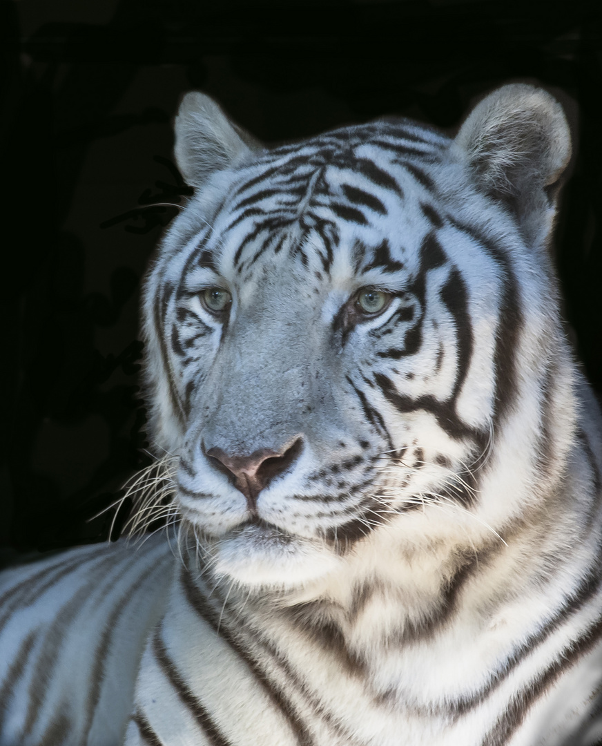 Weiße Tigerdame