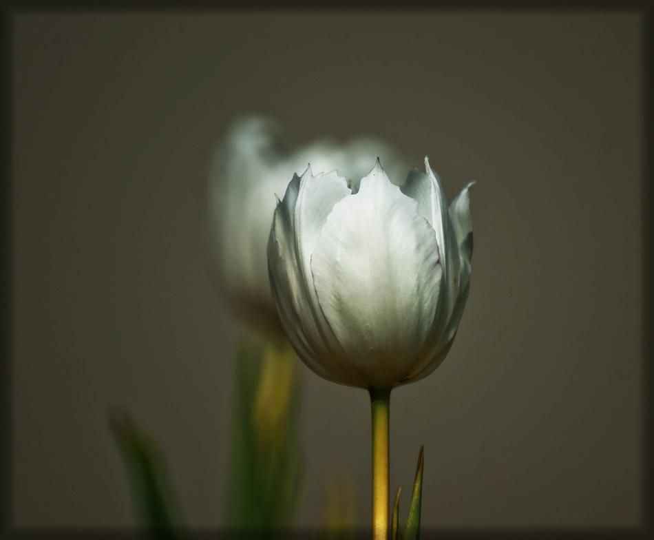 Weiße Tulpe 1