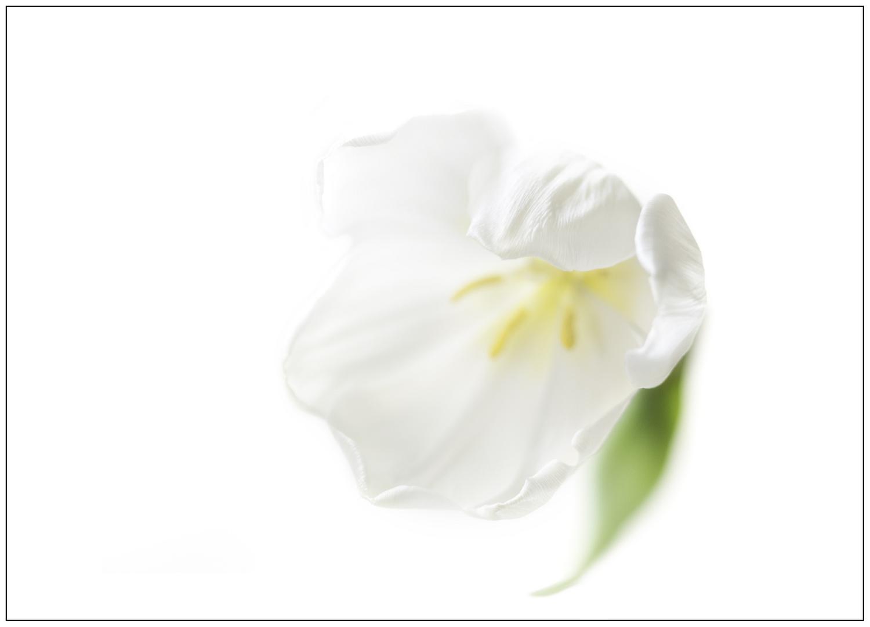 weiße Tulpe