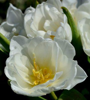 #...Weiße Tulpe......#