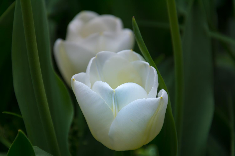 Weiße Tulpe aus Bielefeld