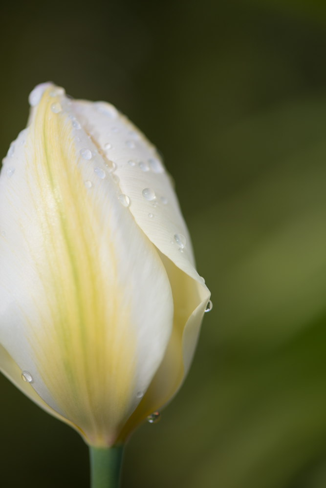 Weiße Tulpe im Morgentau