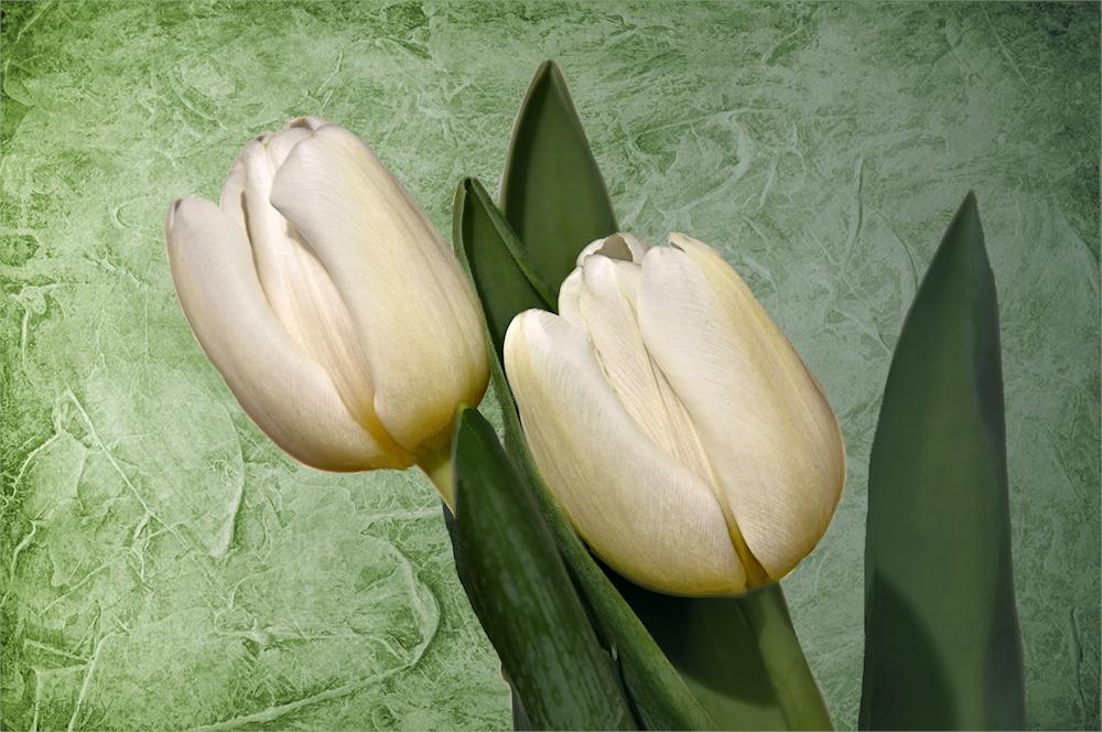 weiße Tulpen....