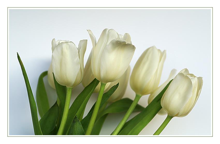 Weisse Tulpen I