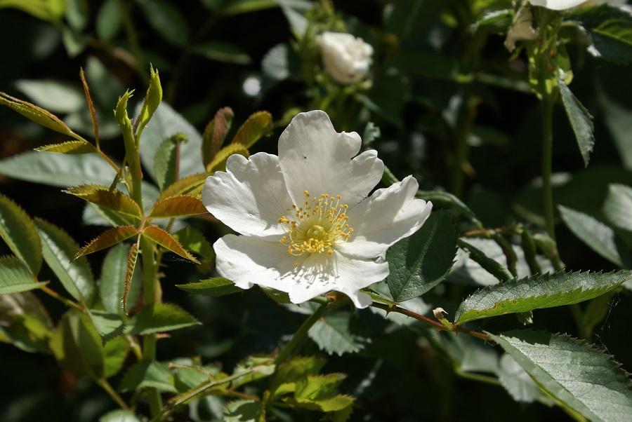 weiße Wildrose