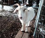 weisse Ziege                                                                     . . . petite chèvre