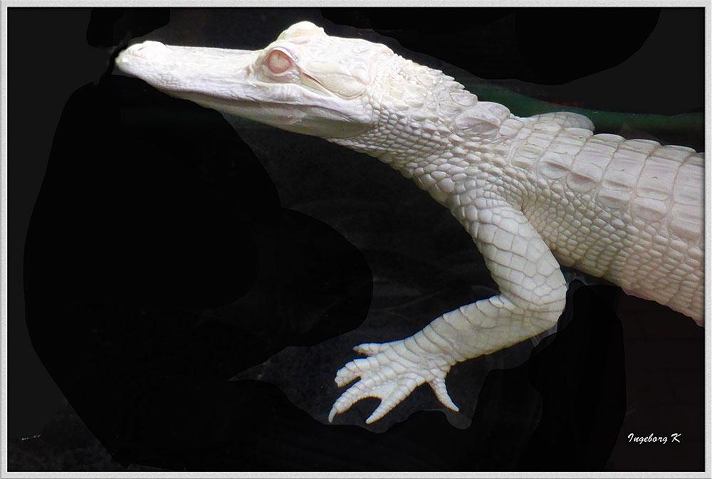 weißer Aligator