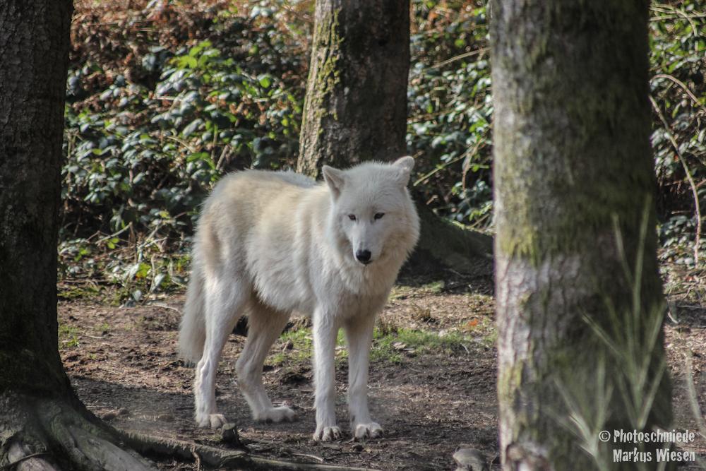Weißer Arktiswolf
