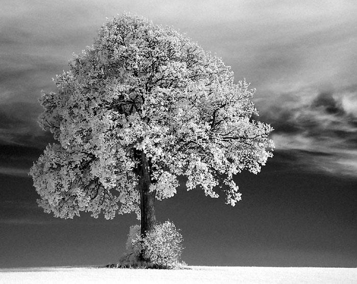 Weißer Baum 2