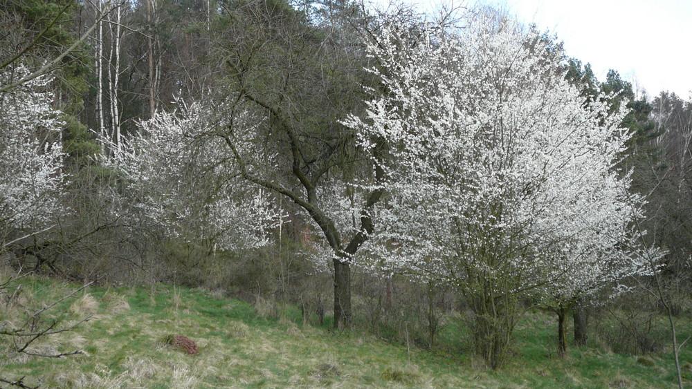 weisser Baum