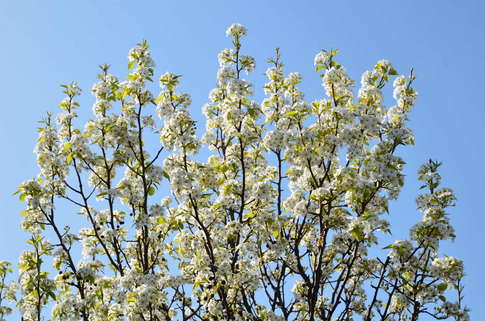 Weißer Baum, Blumen blühen gegen einen leuchtend blauen Himmel.