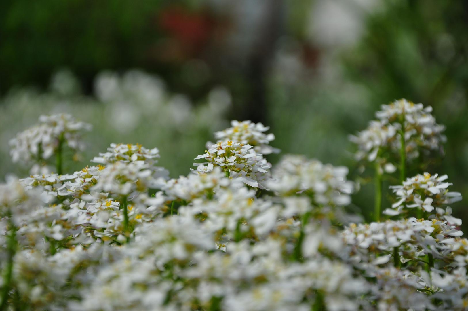 Weißer Blütenteppich