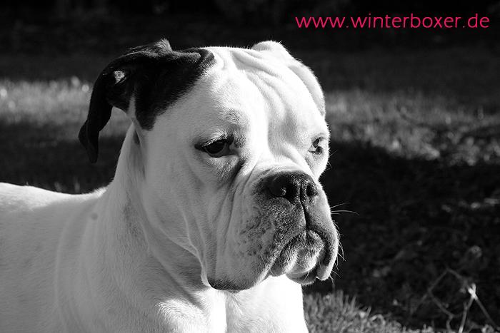 weißer Boxer