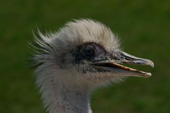 Weißer Emu