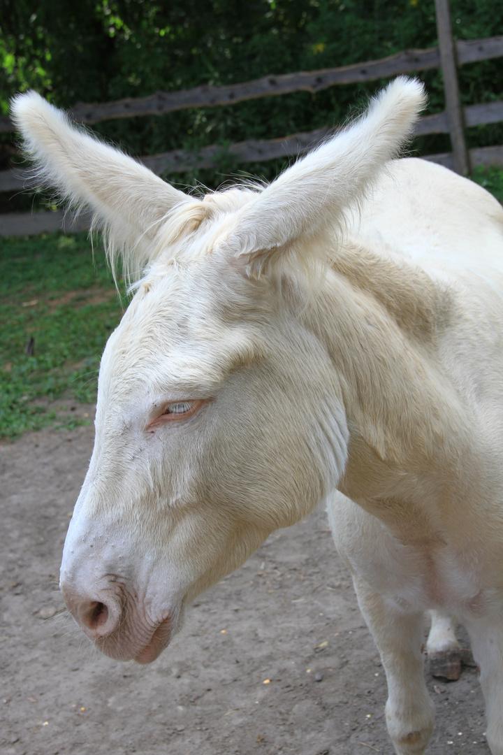 Weißer Esel