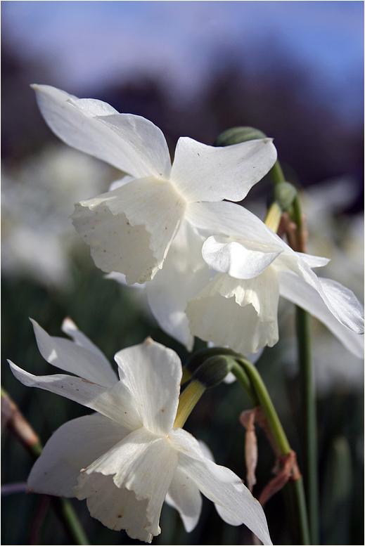 Weißer Frühling