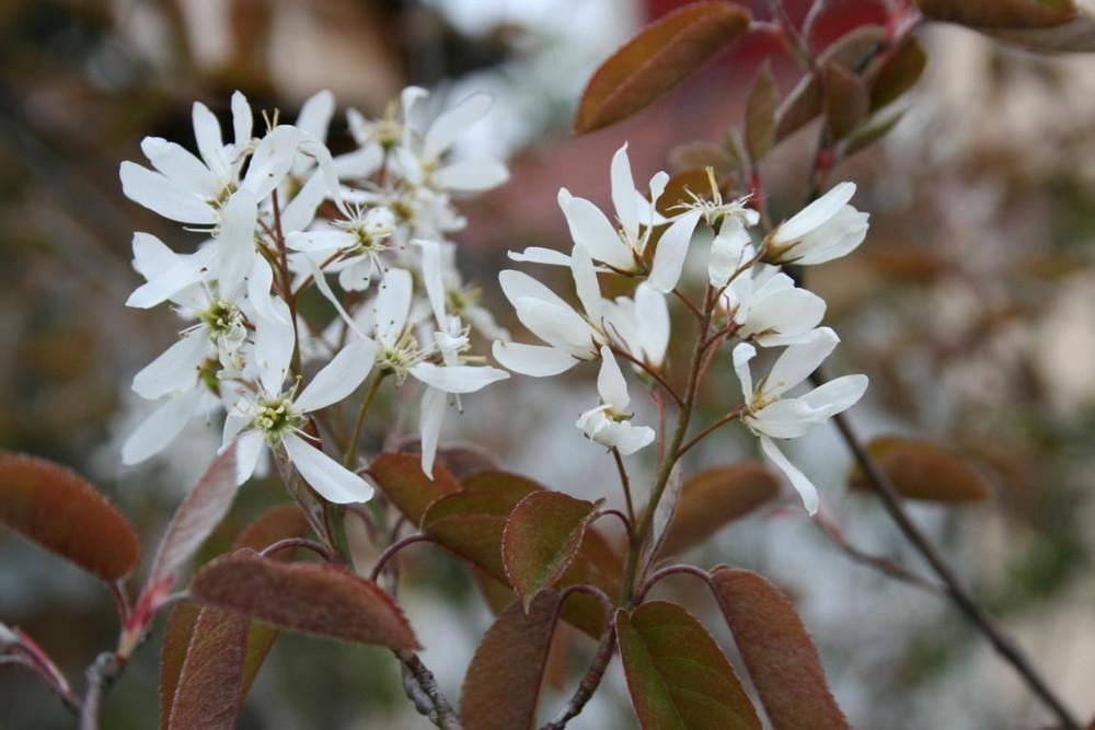 Weißer Frühlingstraum