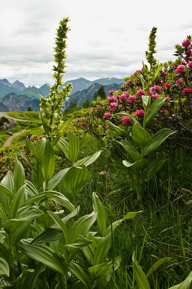 Weißer Germer und Alpenrosen am Fellhorn