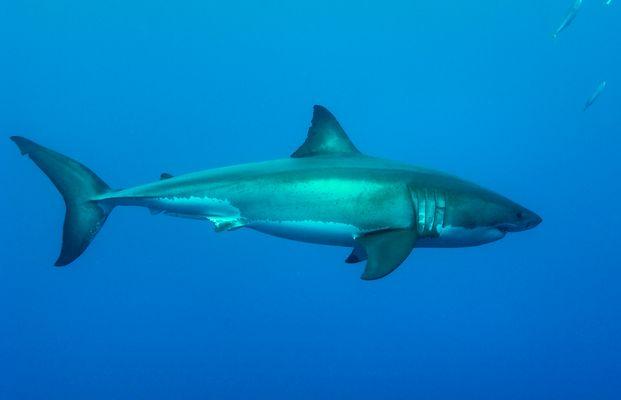 weisser Hai
