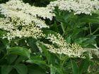 Weißer Holunder blüht wieder im Garten......