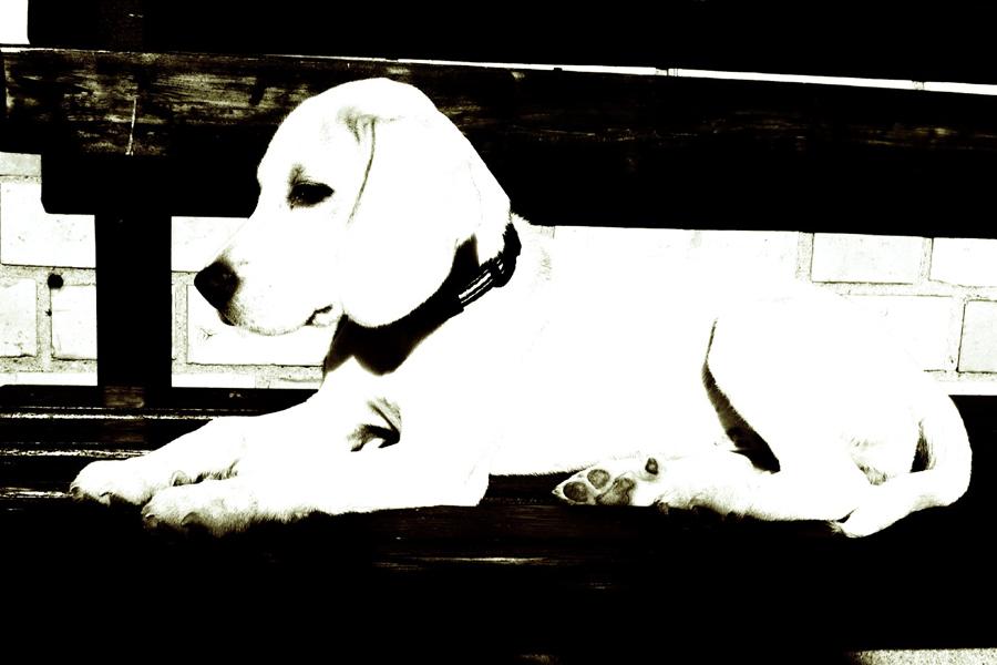 ... weißer Hund ...