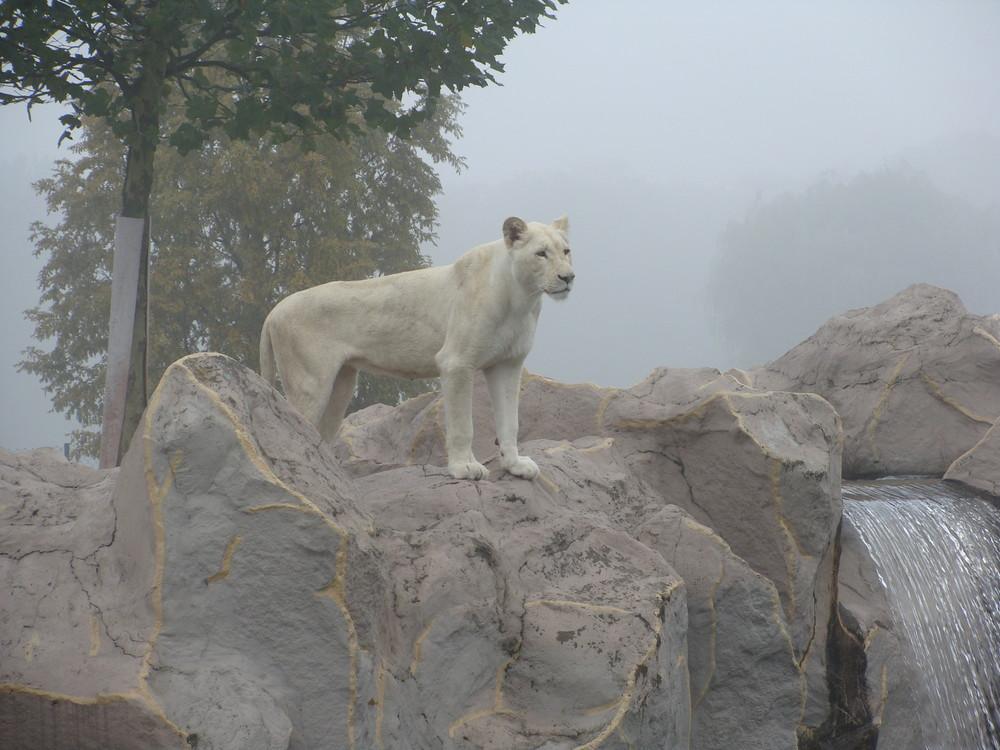 Weisser Löwe im Nebel