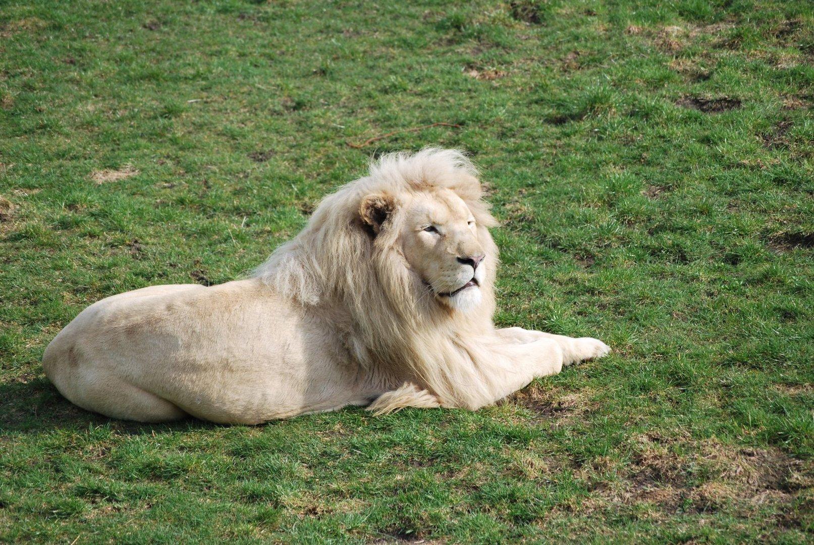 Weißer Löwe (Safaripark)