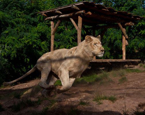 Weißer Löwen Speed ;-)