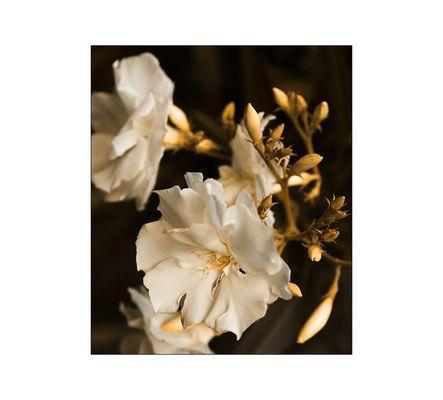 || Weißer Oleander ||