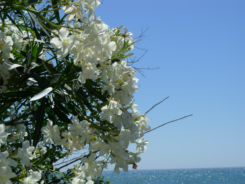 weißer Oleander am Strand
