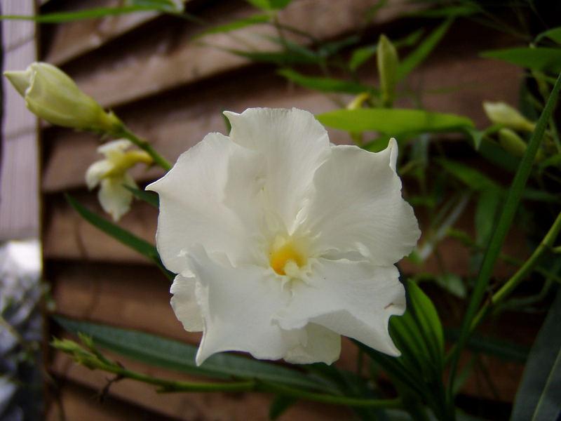 weißer Orleander