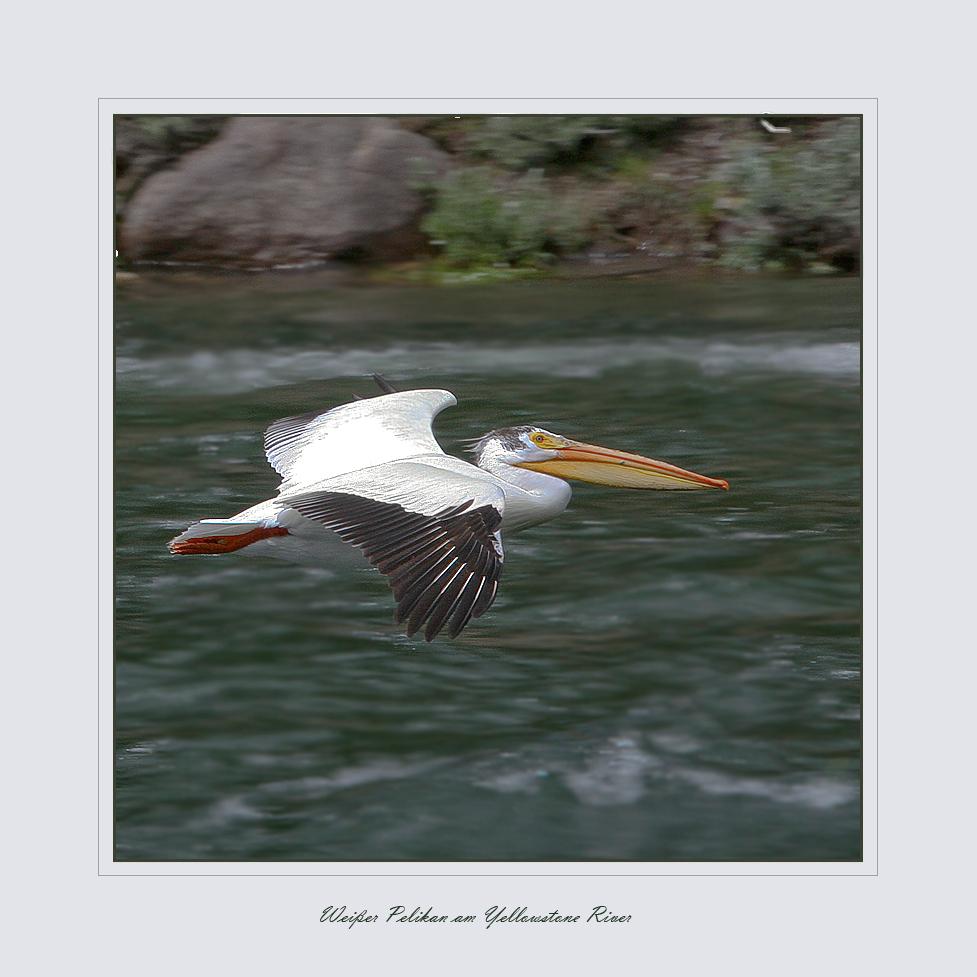 Weißer Pelikan am Yellowstone River