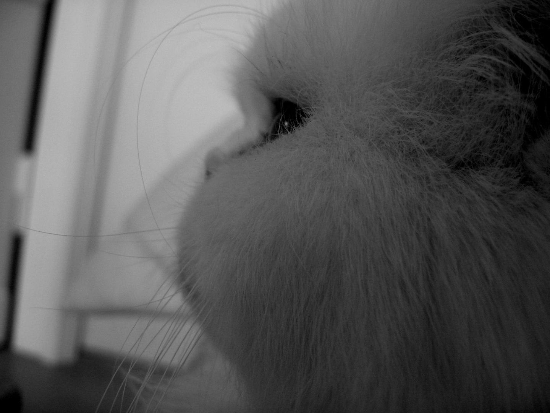 Weißer Perser Katze