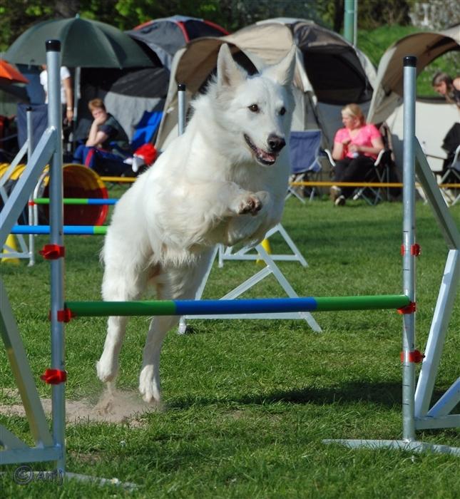 Weißer Schäfehund im Agilityparcours A0 Jumping