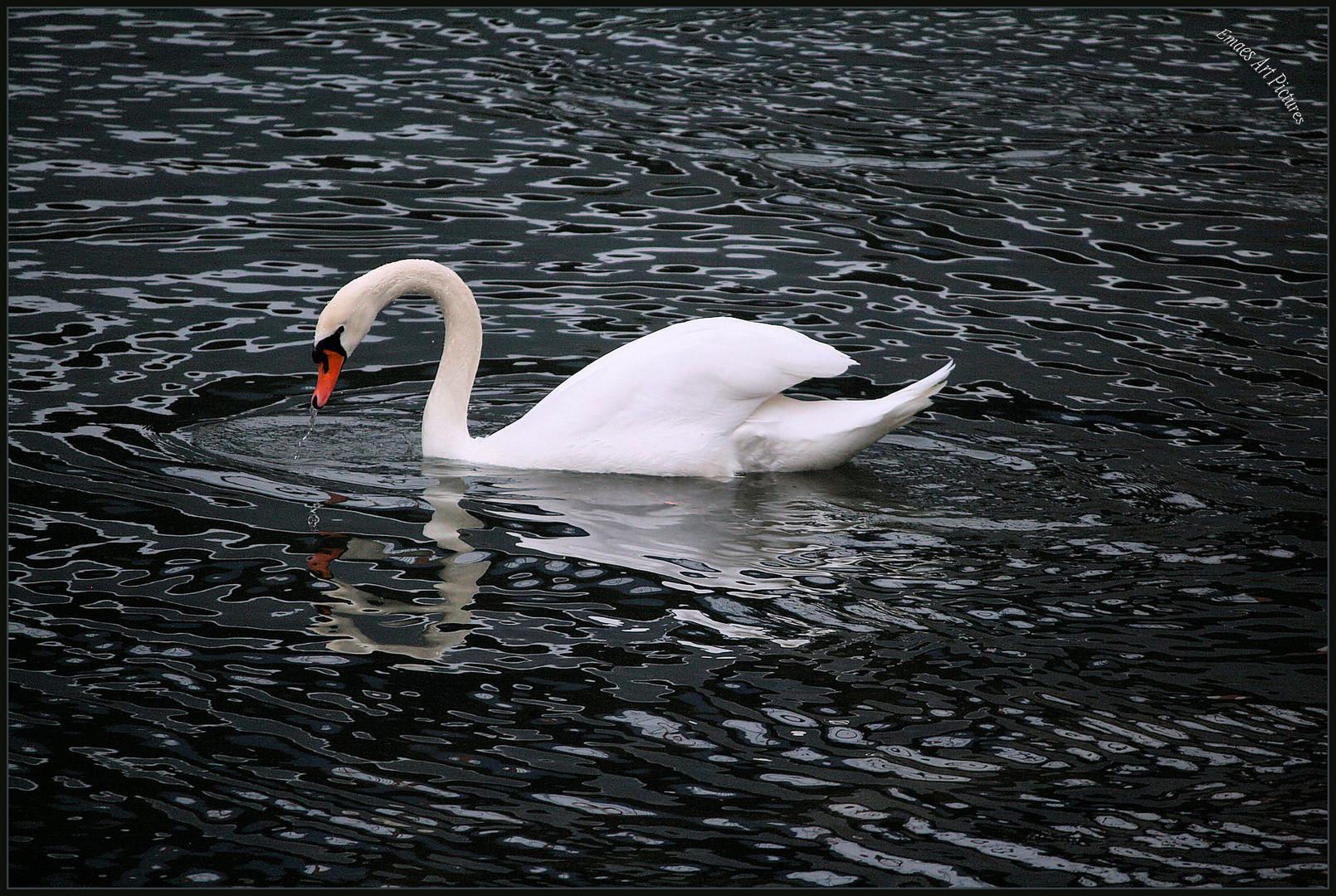 ~~ Weißer Schwan auf schwarzen Wassern ~~