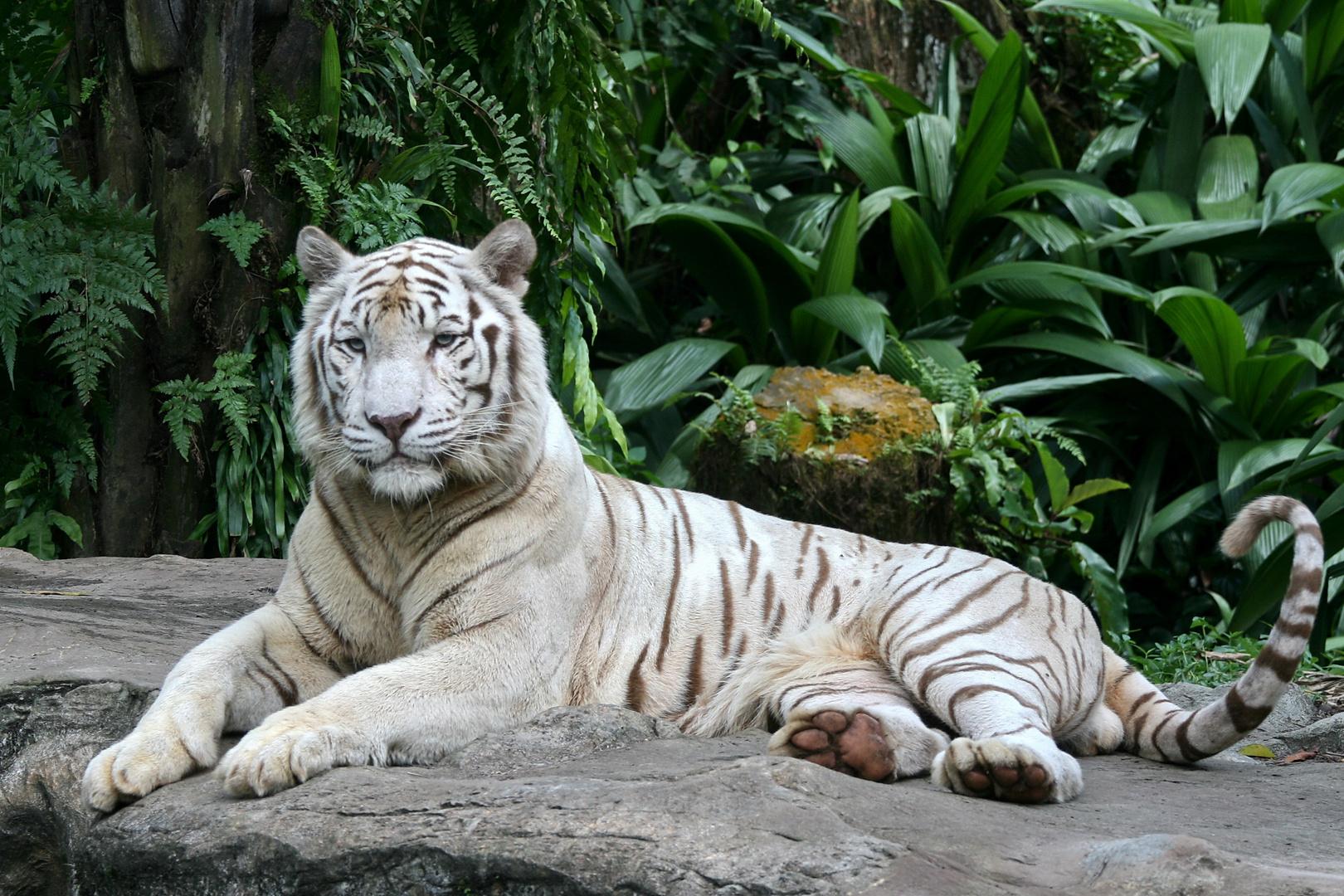 wei er tiger 2 foto bild tiere zoo wildpark falknerei s ugetiere bilder auf fotocommunity. Black Bedroom Furniture Sets. Home Design Ideas