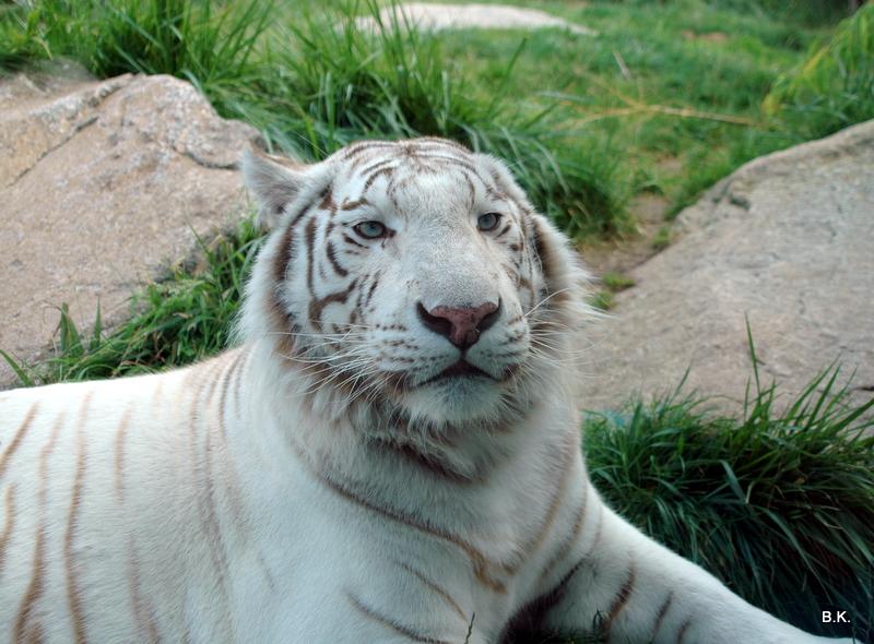 weißer Tiger (3)