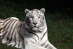 Weisser Tiger