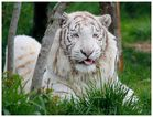 Weißer Tiger (Miezekatze)