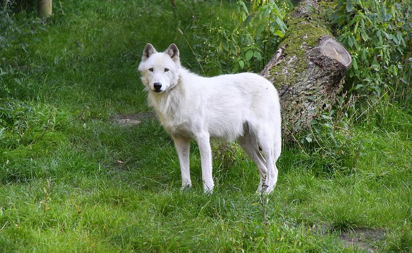 weißer timerwolf