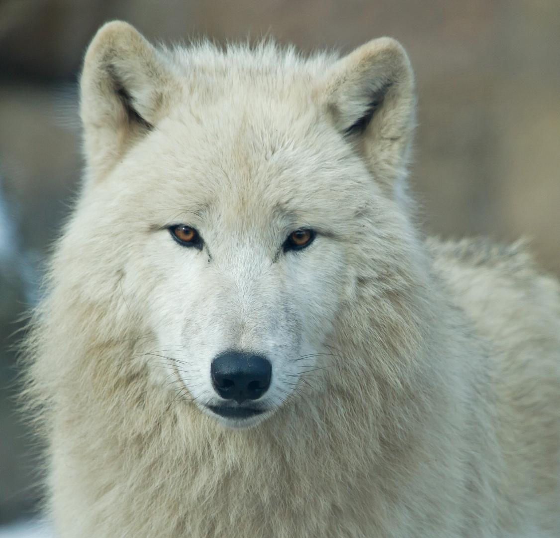 wei er wolf foto bild tiere zoo wildpark falknerei s ugetiere bilder auf fotocommunity. Black Bedroom Furniture Sets. Home Design Ideas
