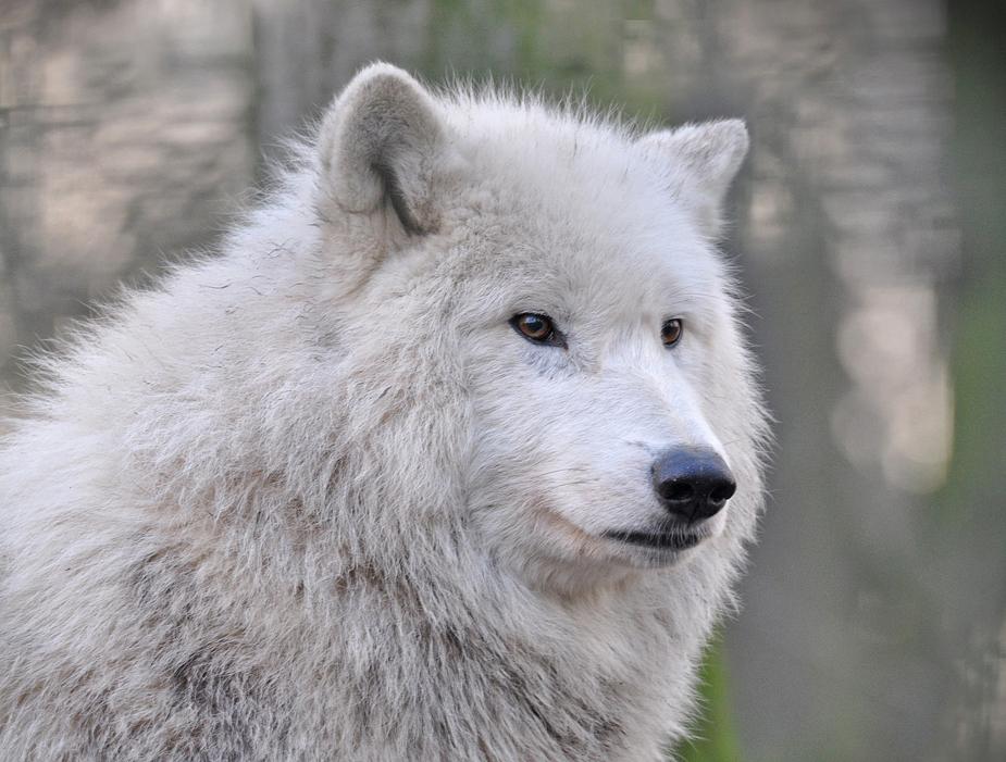 weisser Wolf....