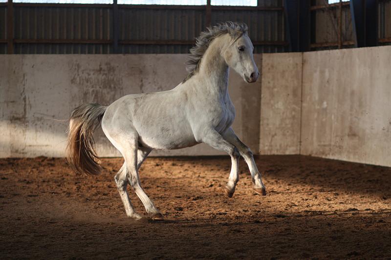 Weisses Ferrari-Pferdchen!