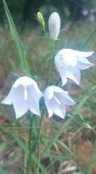 weißes Glöckchen