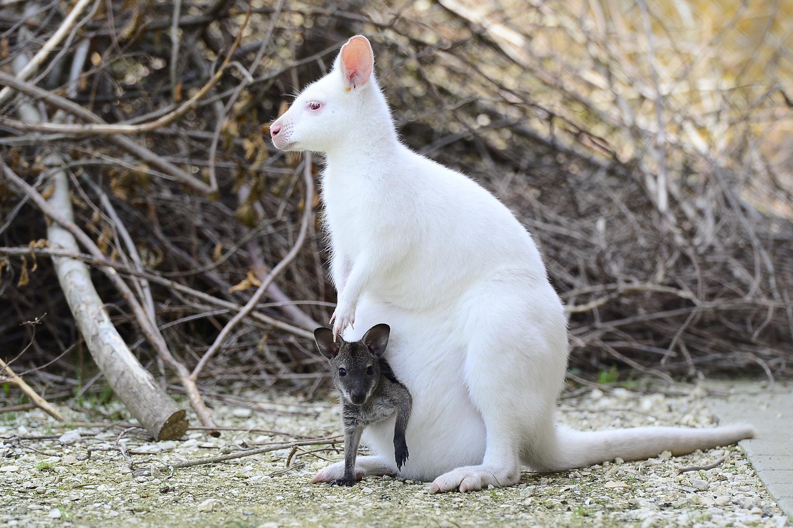 Weisses Känguru mit Nachwuchs