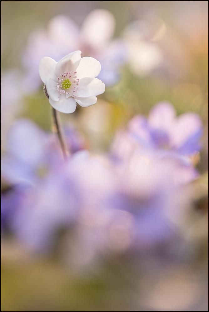 ~ weißes Leberblümchen (2) ~