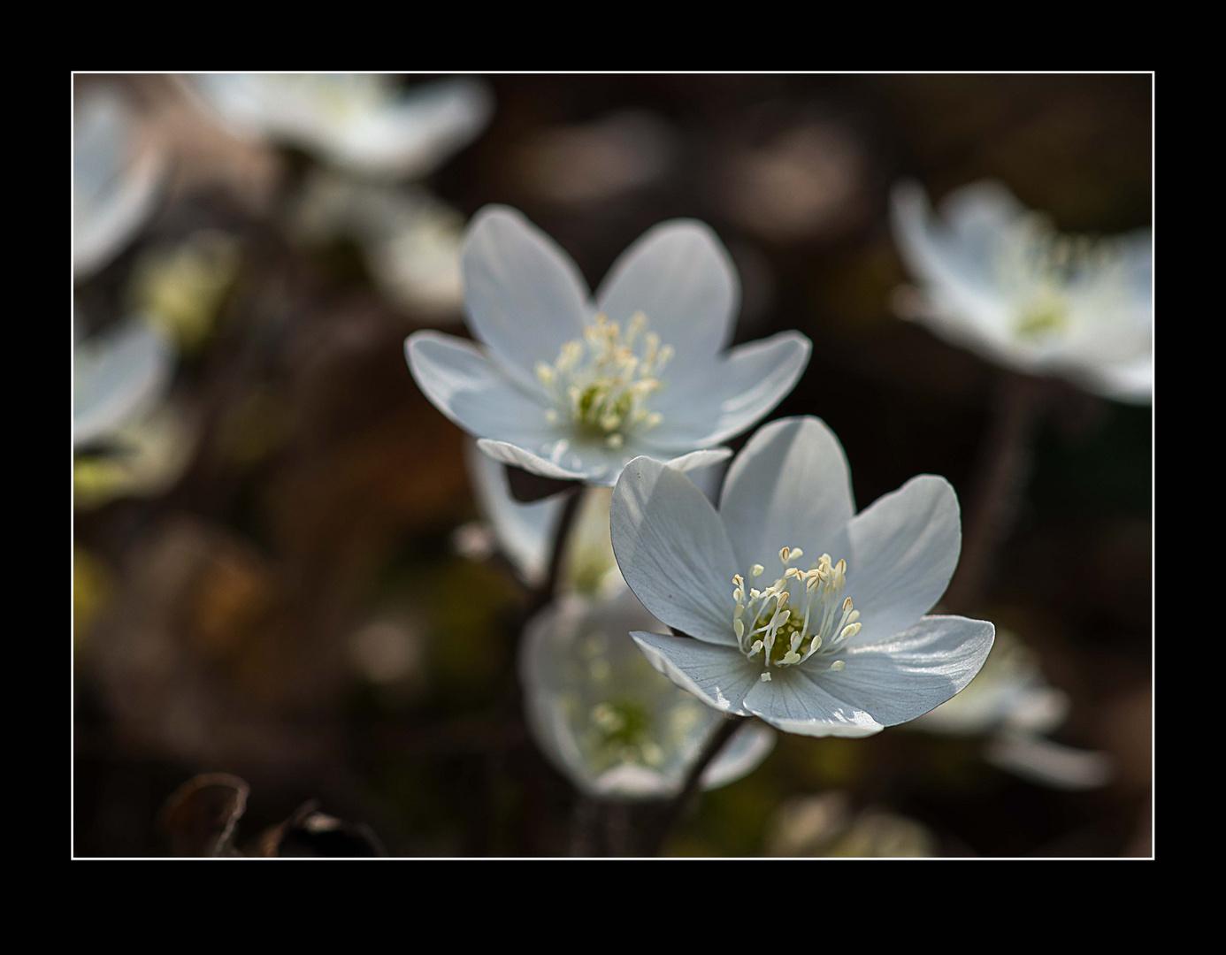 Weisses - Leberblümchen