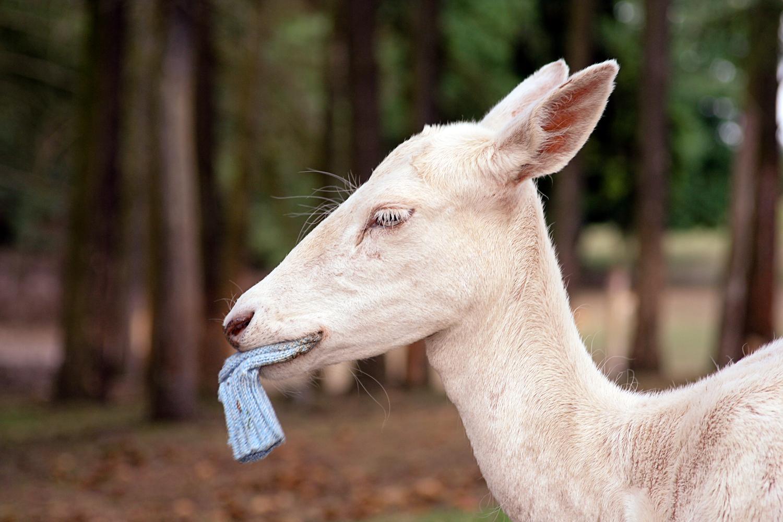 weißes Reh mit blauer Socke